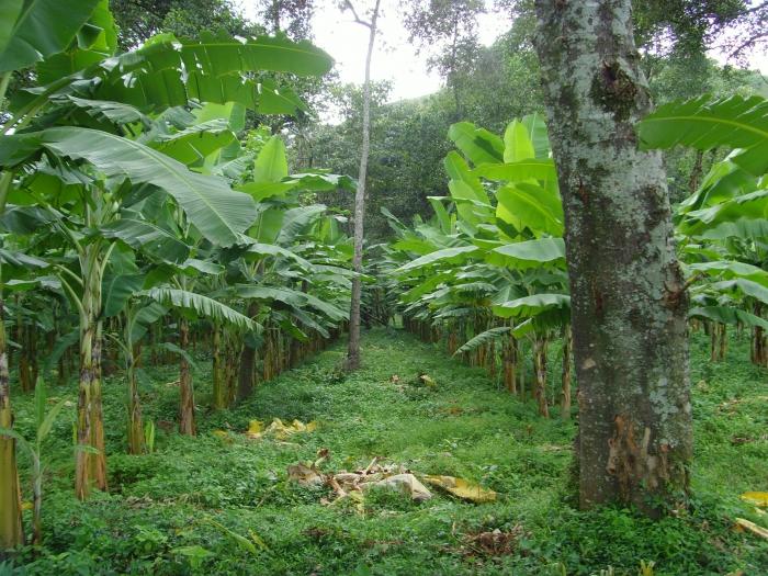 13_Young Banana plant.JPG